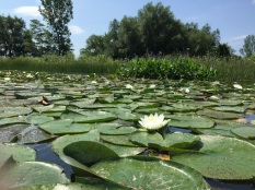 Water lily patch, photo by Tina Spencer, State Parks