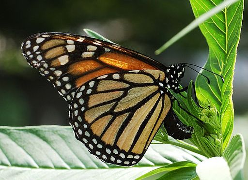 Monarchs Migrate to State Parks