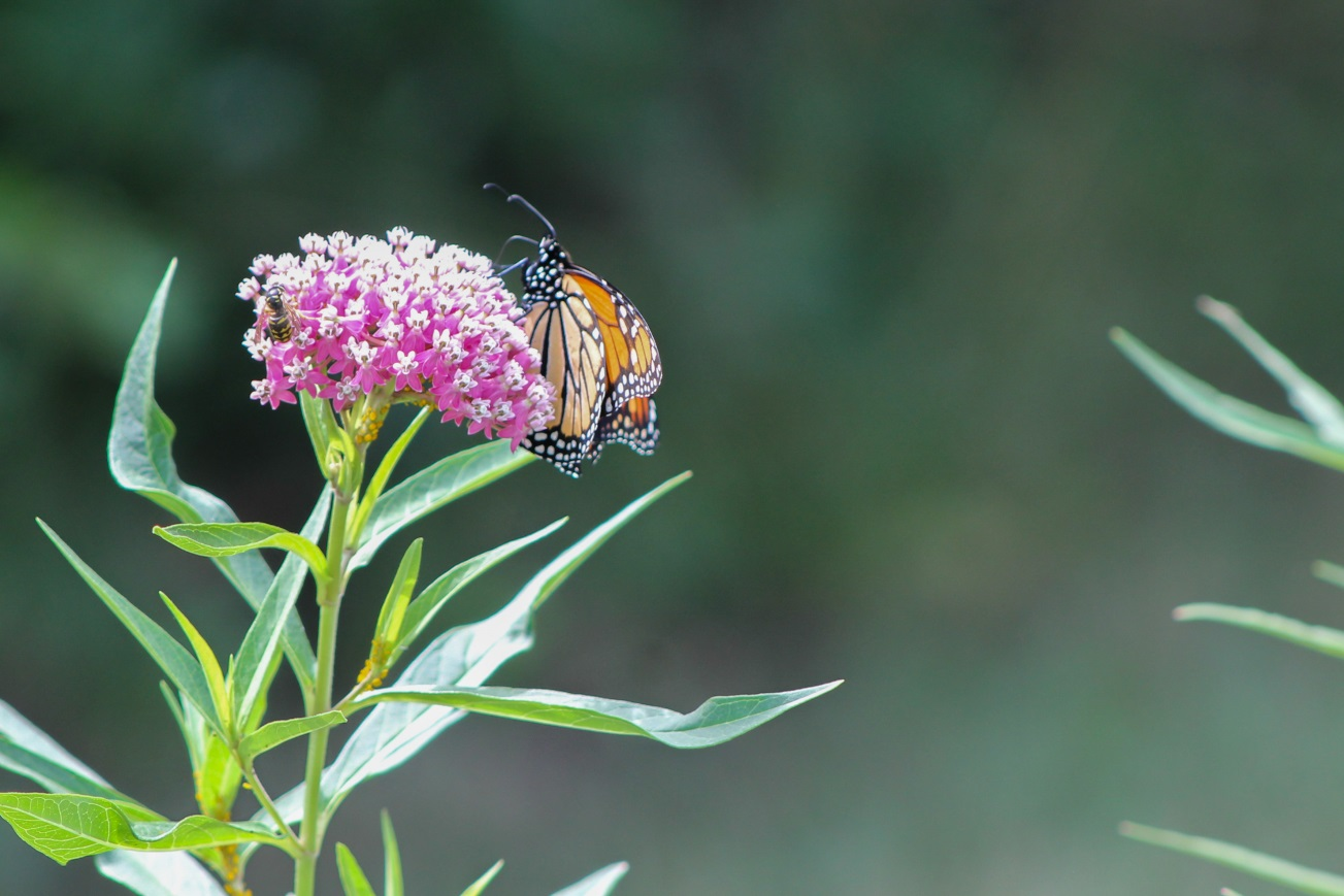 monarch-butterfly-and-a-bee-feeding-on-the-nectar-from-a-swamp-milkweed-in-wilson-tuscarora-state-park-in-august-2016-photo-by-j-harris
