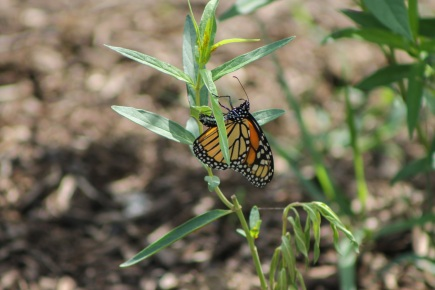 monarch-butterfly-laying-her-eggs-on-a-swamp-milkweed-located-in-the-butterfly-garden-at-wilson-tuscarora-state-park-in-august-2016-photo-by-j-harris