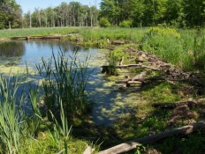 Beaver dam at Verona Beach State Park, photo by Lilly Schelling