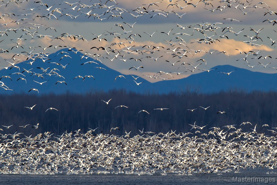 snow-geese-at-point-au-roche-photograph-by-larry-master
