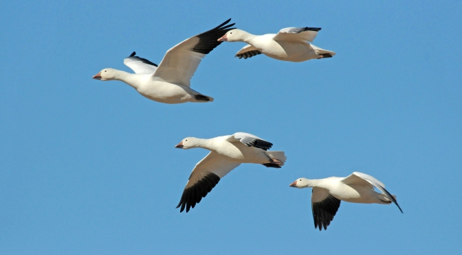 Snow Geese at Point au Roche State Park