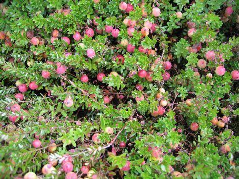5-cranberry_gregedingernynhp