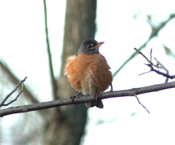 american-robin-david-johnson_must-be-credited