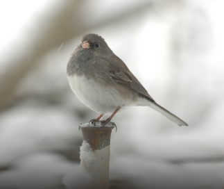 dark_eyed-junco_davidjohnson_must-be-crediteddeju2