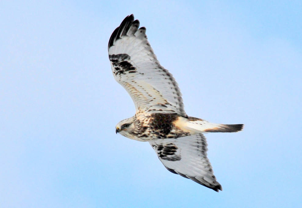 roughlegged_hawk_soaring_usfsw