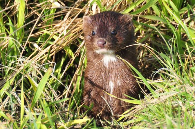 Wildlife Spotlight: Furbearer frenzy: The Mink