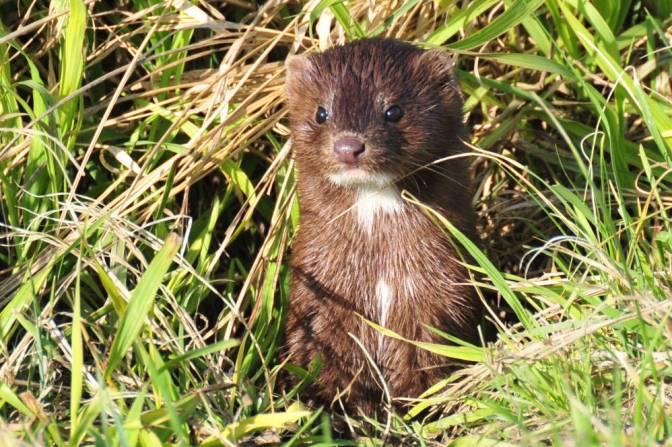Wildlife Spotlight: Furbearer frenzy: The Mink