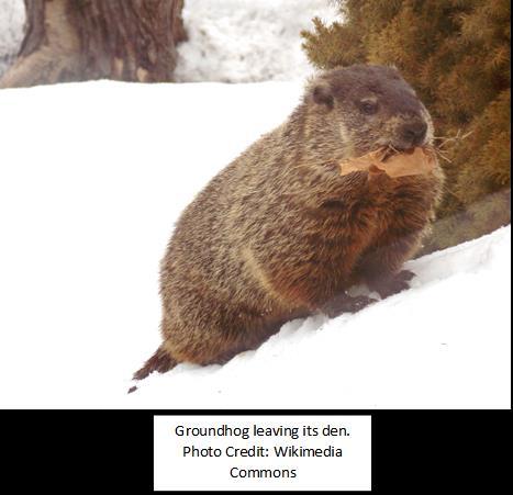 groundhog-leaving-its-den-wikimedia