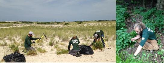 left-eastern-strike-team-removes-asiatic-sand-sedge-at-jones-beach-ny-right-strike-team-member-david-hendler-removes-black-swallow-wort-photos-by-casey-bannon-state-parks