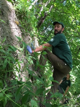 Western strike team member Phil Bossert works on a pale swallow-wort removal project, photo by Sienna McDonald, State Parks