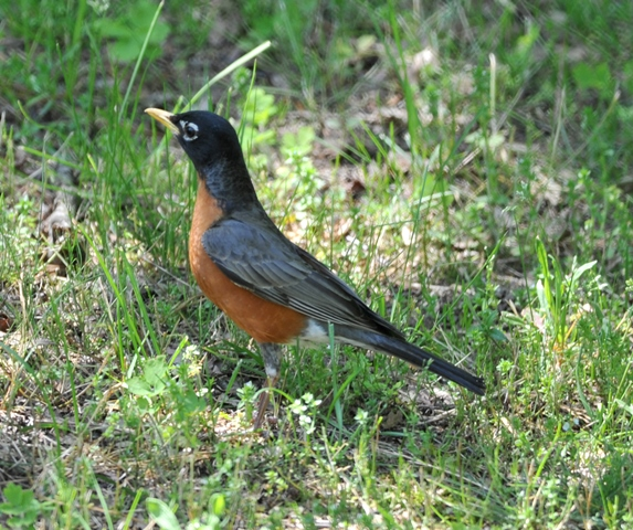 American Robin – Nature's Harbinger of Spring