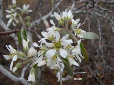 Canadian serviceberry (Amelanchier canadensis) at Hither Hills State Park. Photo by NYNHP.