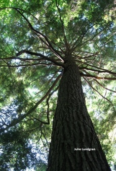 An old-growth hemlock (Tsuga canadensis) in Allegany State Park