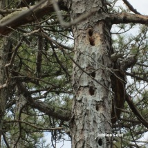 They makes these square or rectangular holes in trees., photo by Jubilee Feist.