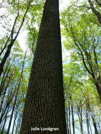 A towering tulip poplar (Liriodendron tulipifera) at Hamlin Beach State Park – a small park with spectacular trees.