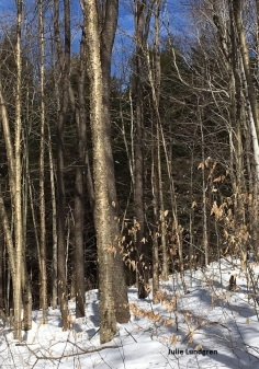 Yellow birch (Betula alleghaniensis) in Grafton Lakes State Park