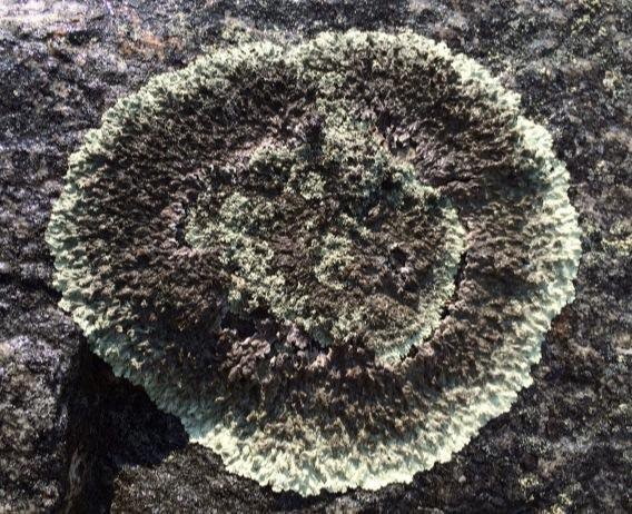 4 - Rock Lichen, circle, New Jersey (photo by Steve Young)