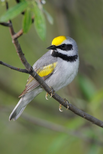 New York State Parks Partners with Audubon New York to Save One of New York's Most Beautiful Songbirds