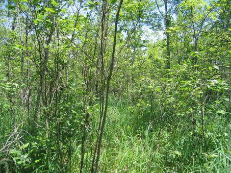RedMaple-HardwoodSwampAnd ShrubSwamp_GregEdingerNYNHP