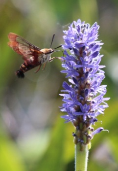 This photo of a clearwing moth was posted at the 2016 NY State Fair to accompany activities on pollinators. Photo credit: Matt Schlesinger, NYNHP.