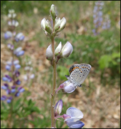 The underside of the Karner blue seen perched on the host plant, wild lupine (Lupinus perennis). Photo by Paul Labus, The Nature Conservancy, Indiana.