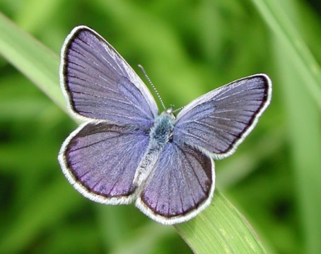 Male Karner blue butterfly. Photo by Paul Labus, The Nature Conservancy, Indiana.