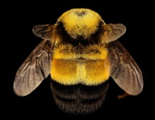 The banners will describe how NY Natural Heritage Program is partnering with State Parks to protect habitat and learn more about what pollinators are present in NY - like this rusty patched bumblebee (Bombus affinis). Photo credit: LW Macior.