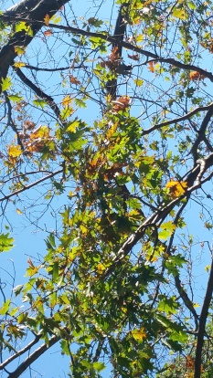 Oak tree infected with oak wilt. Photo by NYS DEC