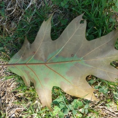 The discolored leaf from a tree in the red oak group. Photo by NYS DEC