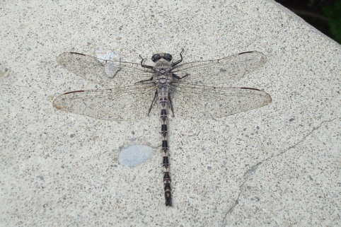 Petaltail on Rocks, photo by State Parks