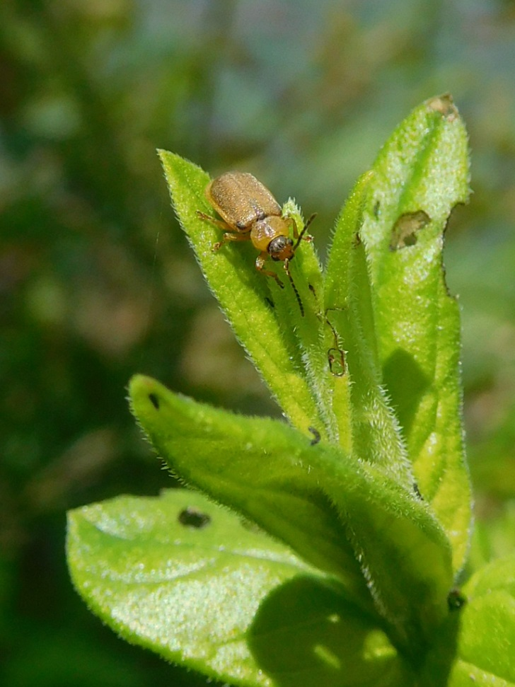Beetle on loosestrife at Silver Lake SP, photo by A McGinnis