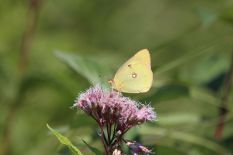 Sulphur butterflies (like this one) and cabbage whites are very common, photo by Matt Schlesinger, NYNHP
