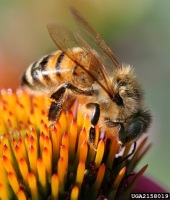 A honey bee can only sting once. Photo by David Cappaert, Bugwood.org