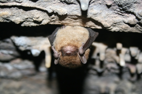 Little brown bat credit USFWS, Ann Froschauer