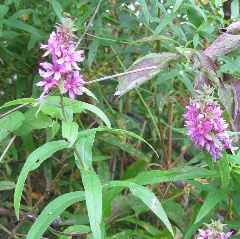Loosestrife flower, photo by A McGinnis