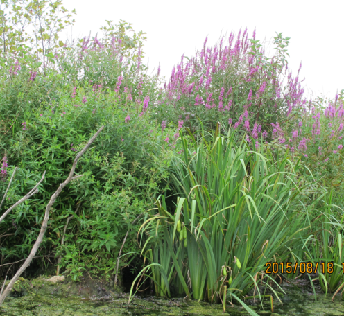Loosestrife in bloom, photo by Amy McGinnis