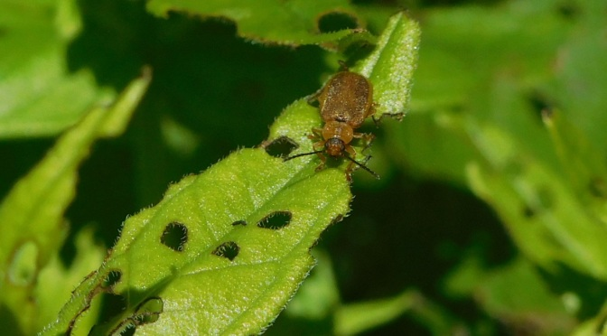Lose the Loosestrife: Beetles for Biocontrol