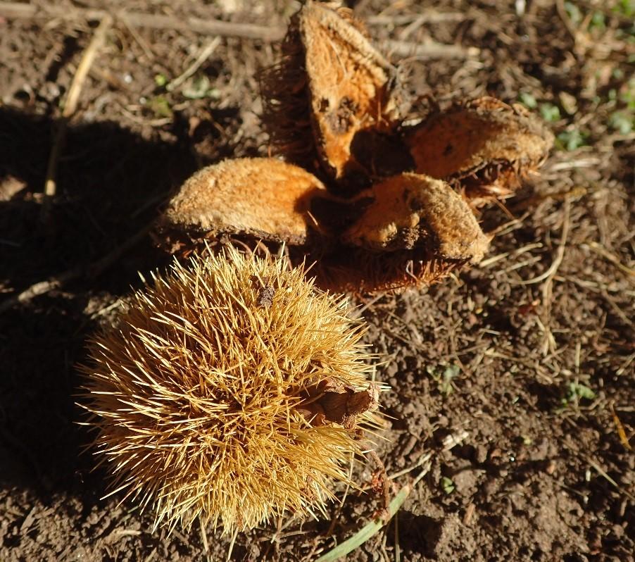 American Chestnut_photo by Julie Lundgren