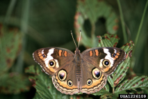 Common Buckeye Butterfly, photo by Jerry A. Payne, USDA Agricultural Research Service, Bugwood.org
