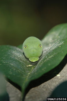 Eastern Tiger Swallowtail Caterpillar, photo by Chris Evans, University of Illinois, Bugwood.org