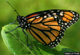 Monarch Butterfly, photo by David Cappaert, Bugwood.org