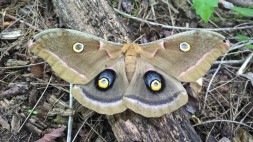 Polyphemus Moth, photo by Kelsey Ruffino, State Parks.
