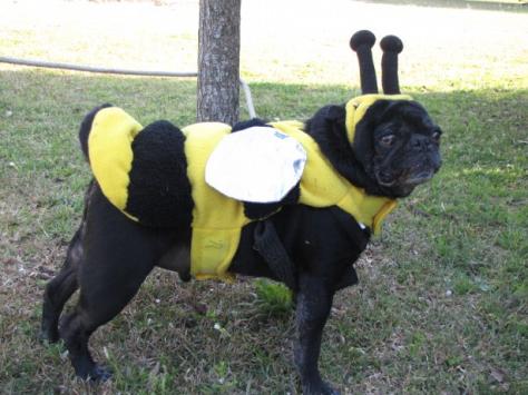 Pug Costume - Public Domain