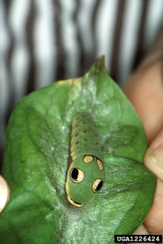 Spicebush Swallowtail Caterpillar, photo by Jerry A. Payne, USDA Agricultural Research Service, Bugwood.org