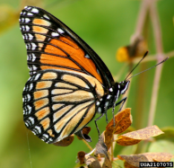 Viceroy Butterfly, photo by David Cappaert, Bugwood.org