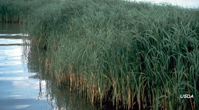 Weathering the Storm by Restoring a Native Grass