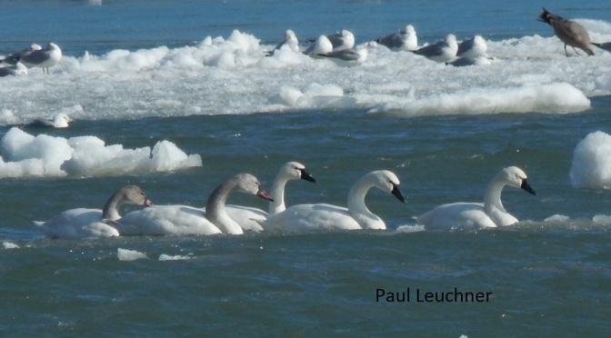 Tundra Swans at Beaver Island State Park