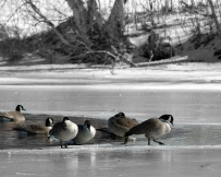 Geese gingerly step on frozen freshwater pond at Caumsett state Park.